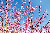 Peach Blossom Trees