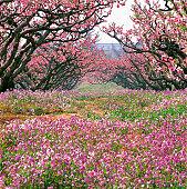 peach blossoms at Tuancheng