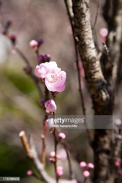 Peach blossoms, Kumano Kodo