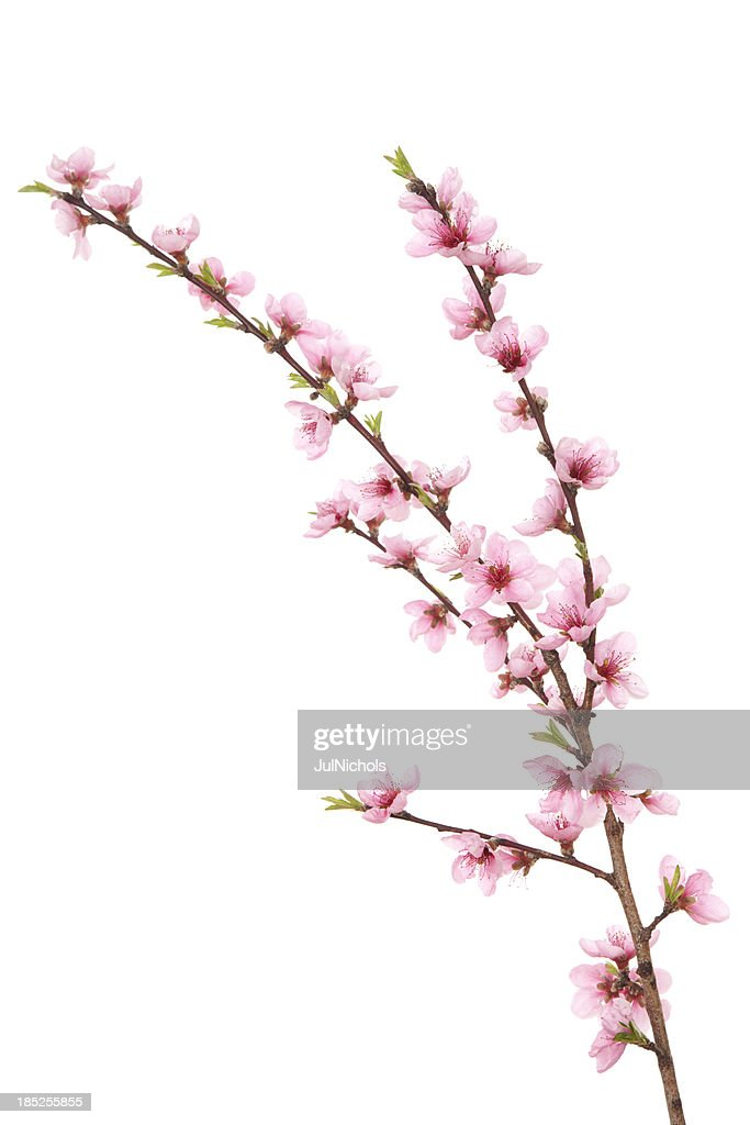 Peach Blossoms on Branch