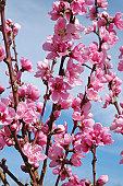 peach blossoms, Prunus persica