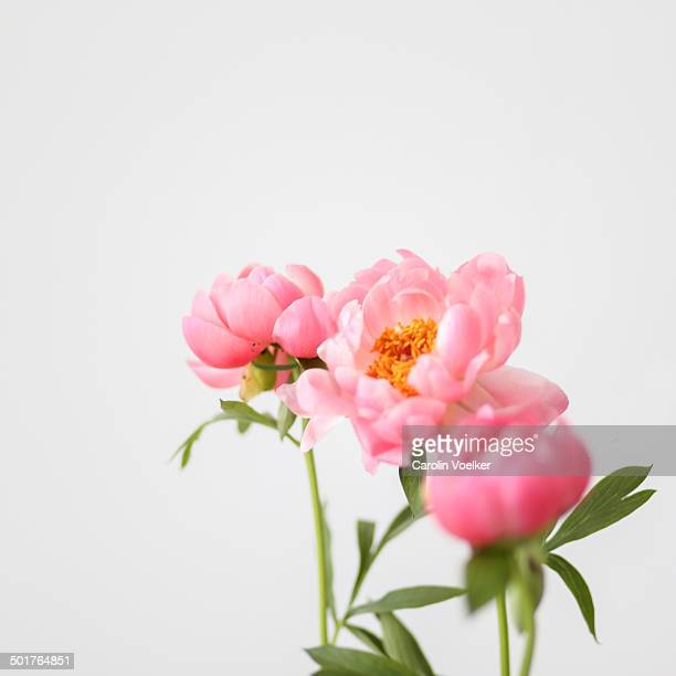 Peach colored peonies