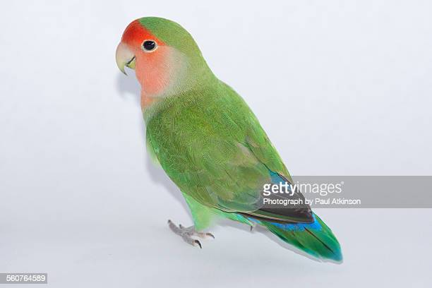Peach faced lovebird