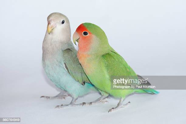 Peach faced lovebirds
