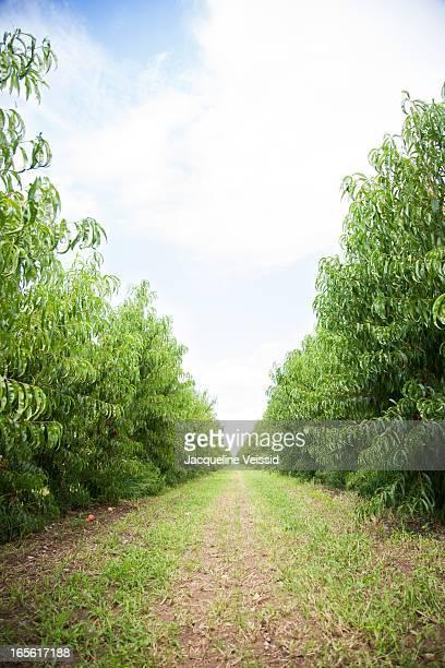 Peach farm path