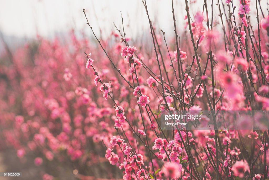 Peach flowers : Stock Photo