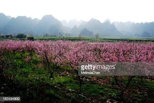 Peach garden : Stock Photo