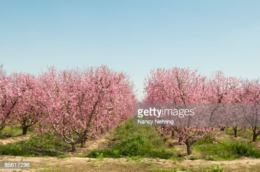 peach orchard in bloo : Stock Photo