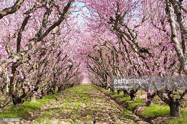Peach Orchard with Springtime Blossoms