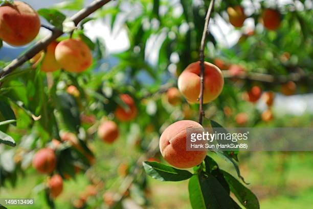 Peach orchards