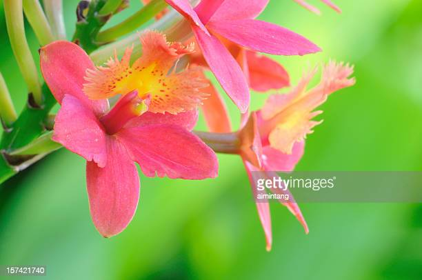 Peach Red Orchids