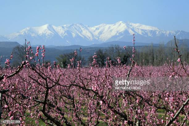 Peach tree blossoms bloom in the valleys below the Mont Canigou mountain near Perpignan southern France on March 7 2014 AFP PHOTO / RAYMOND ROIG