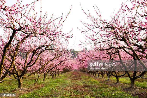 Peach Tree Orchard