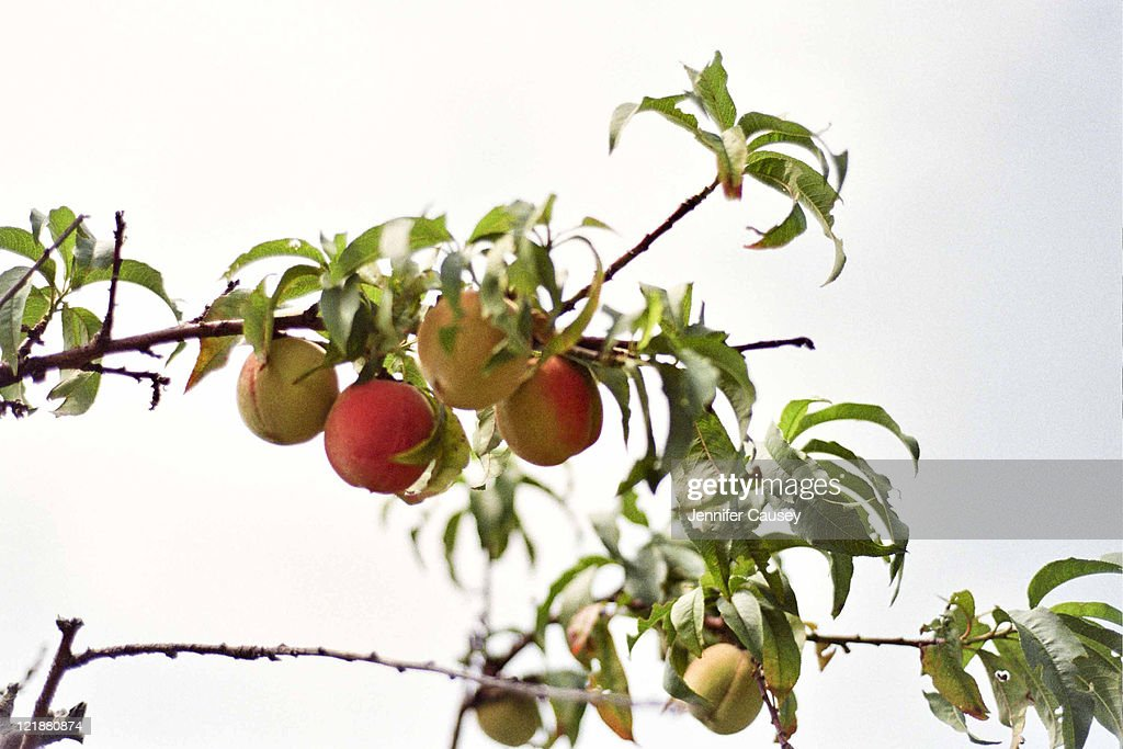 Peach tree : Stock Photo