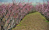 Peach trees blossoming