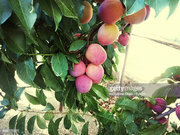 Peaches Growing On Field