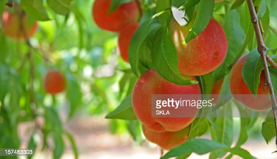 Peaches on a peach tree (close-up)