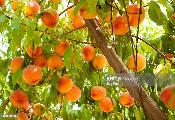 peach orchard muslim single women Create a free website or build a blog with ease on wordpresscom dozens of free, customizable, mobile-ready designs and themes free hosting and support.