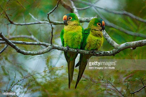 Peach-fronted parakeets, Aratinga aurea, Brazil