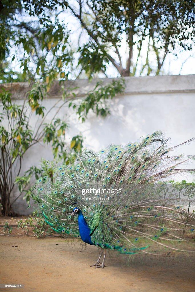 Peacock at Alcazar Gardens, Seville : Stock Photo