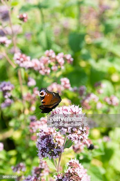 Peacock butterfly (Inachis io) alighting on valerian flower (Valeriana officinalis)