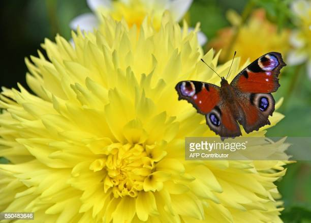 A peacock butterfly flies over a flower in Apolda eastern Germany on September 19 2017 PHOTO / dpa / Martin Schutt / Germany OUT