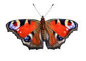 Beautiful bright peacock butterfly (Inachis io) fully wing stretching with spots eyes on its wings isolated on a white background