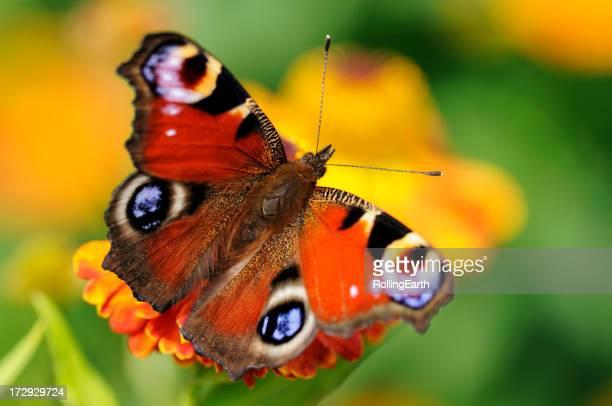 Pfau Schmetterling auf Blume