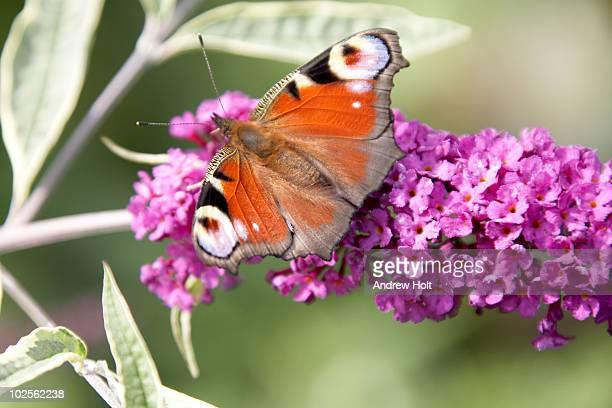 Peacock butterfly on purple buddleia flower
