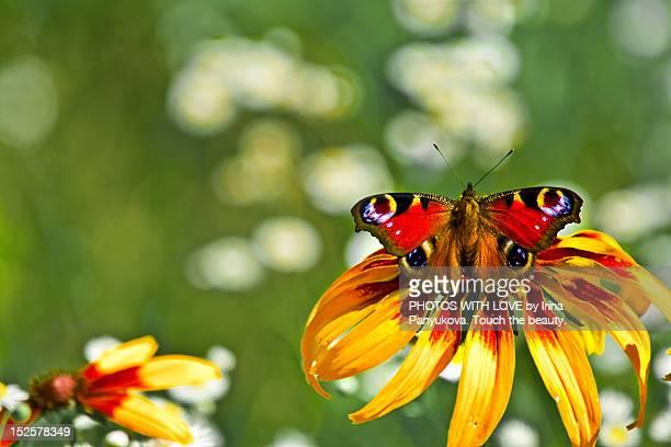 Peacock Butterfly on rudbeckia (Black-eyed Susan)