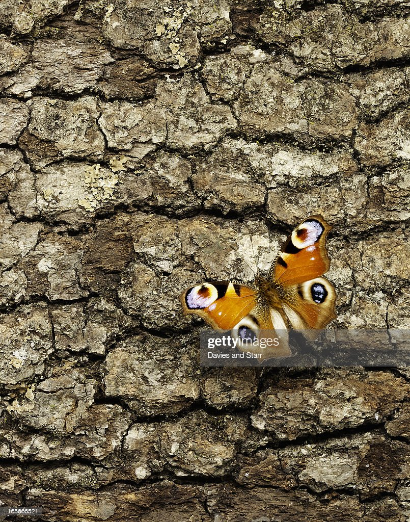 Peacock Butterfly on wood bark. : Stock Photo