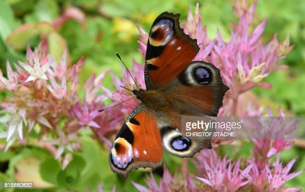 A peacock butterfly sits on a plant in a garden of the small Thuringian village ZellaMehlis central Germany on July 16 2017 / AFP PHOTO / Christof...