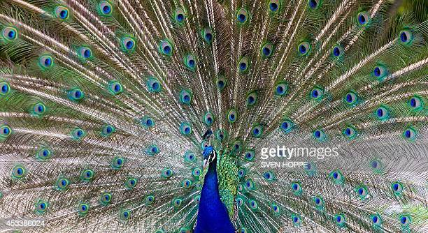 A peacock displays his plumage on August 8 2014 at the Hellabrunn zoo in Munich southern Germany AFP PHOTO / DPA / SVEN HOPPE / GERMANY OUT
