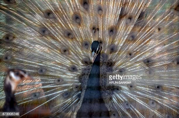 A peacock displays its feathers on a hot summer day at Anna National Zoological Park in Chennai on April 26 2017 / AFP PHOTO / ARUN SANKAR