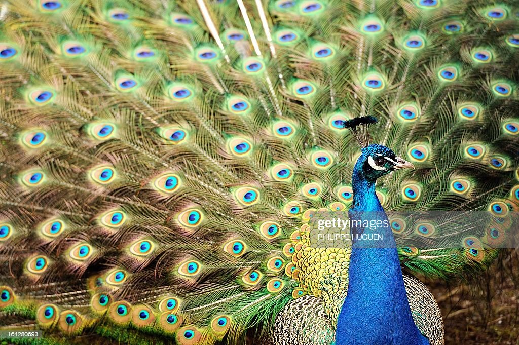 A peacock displays its feathers on March 22, 2013 at the zoo in Lille.