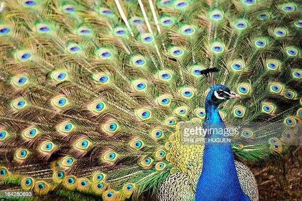 A peacock displays its feathers on March 22 2013 at the zoo in Lille AFP PHOTO PHILIPPE HUGUEN