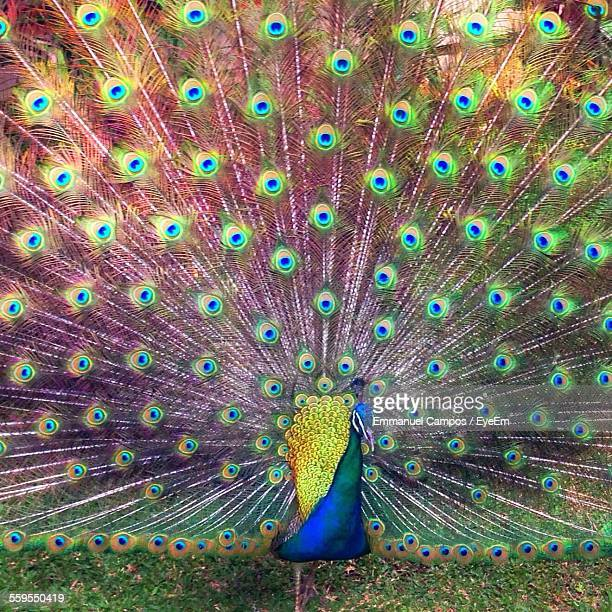 Peacock Fanned Out Feathers On Field