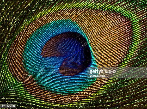 Peacock feather close-up