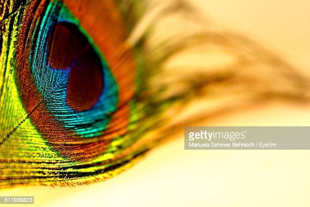 Peacock feather in full color