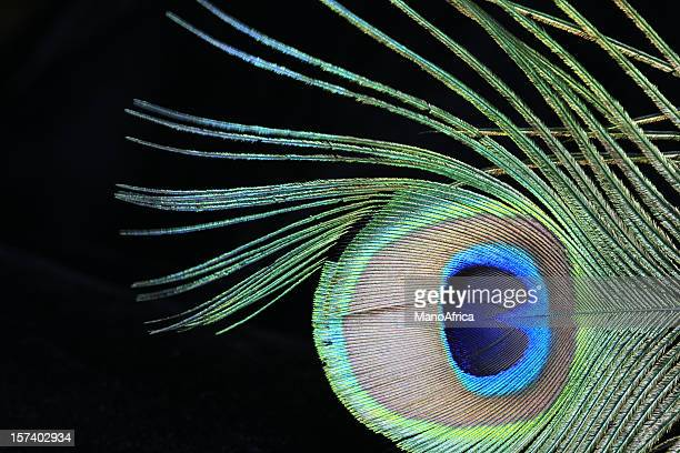 Peacock feather on black