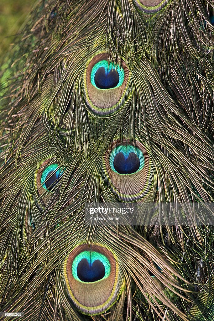 Peacock feathers : Stock Photo