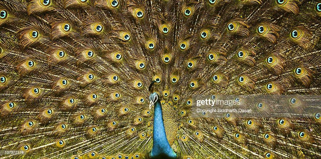 Peacock, India