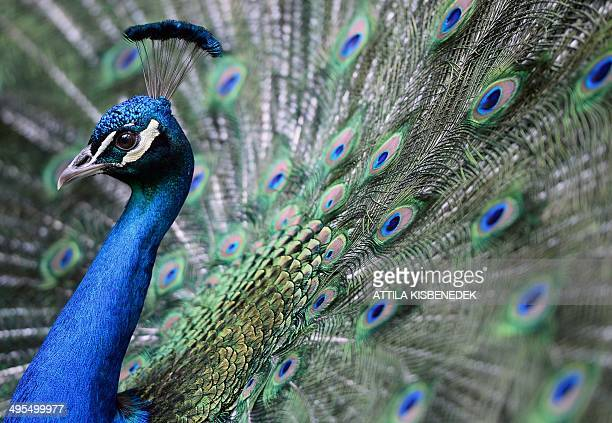 A peacock is flourished on its colors in the 'Magan Zoo Abony' a private zoo of Abony town about 90 kilometres east of Budapest on June 3 2014 AFP...