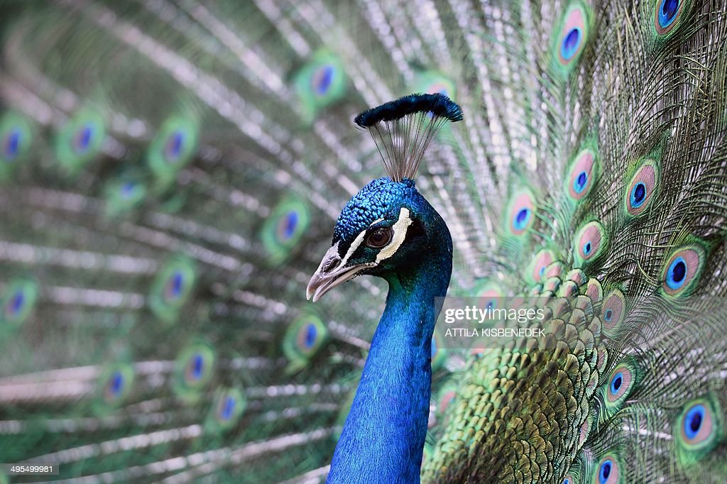 A peacock is flourished on its colors in the 'Magan Zoo Abony', a private zoo of Abony town, about 90 kilometres east of Budapest on June 3, 2014. AFP PHOTO / ATTILA KISBENEDEK