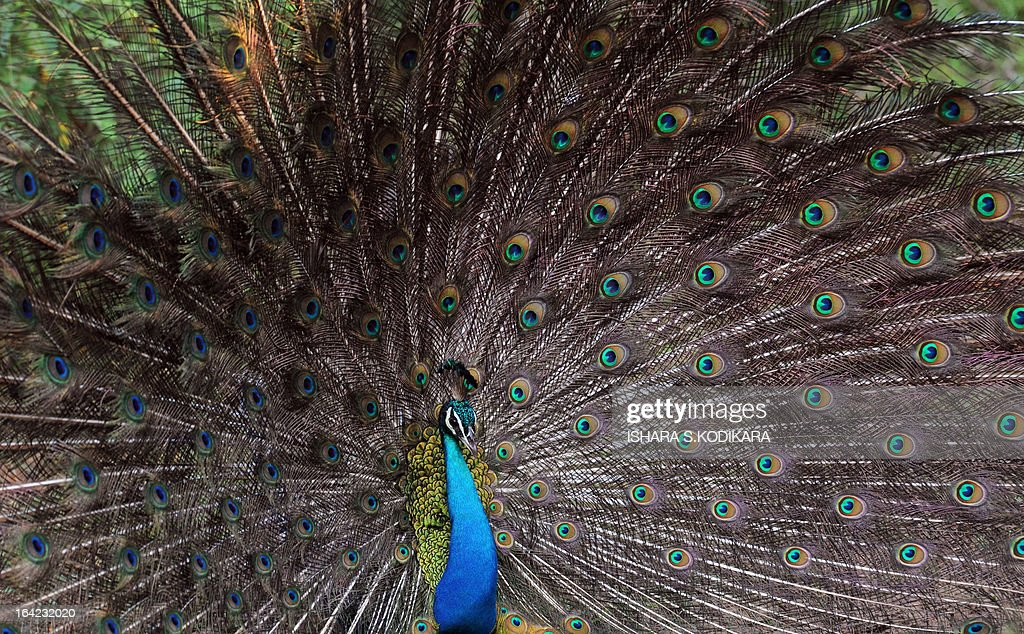 A peacock is pictured on March 212013 at Yala National Park in the southern district of Yala around 250 km southwest of Colombo Yala National Park is...