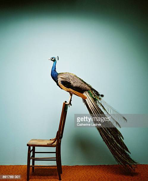 Peacock (Pavo cristatus) on chair