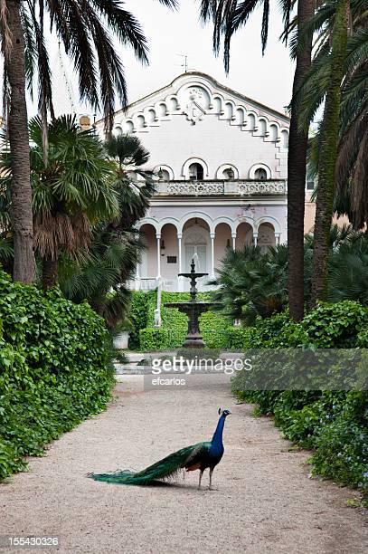 Peacock en el jardín