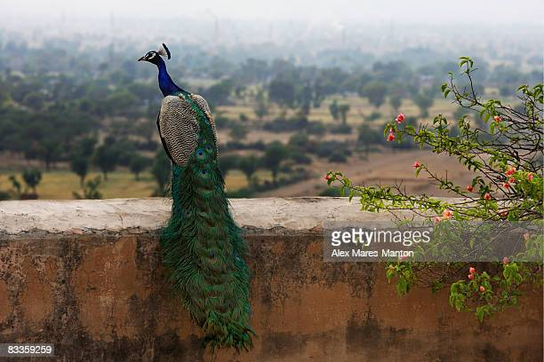 peacock on ledge