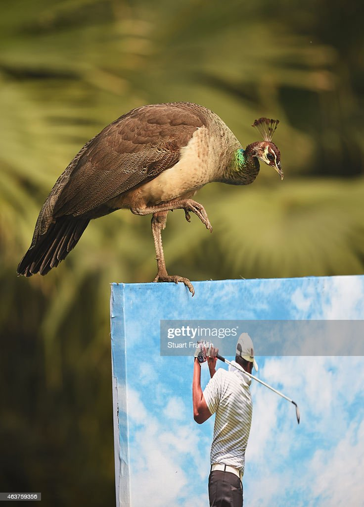 A peacock on the course prior to the start of the Hero India Open Golf at Delhi Golf Club on February 18, 2015 in New Delhi, India.
