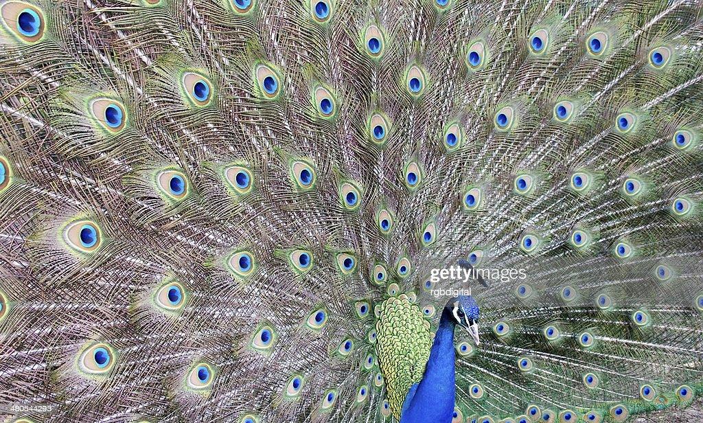 Peacock : Stock Photo